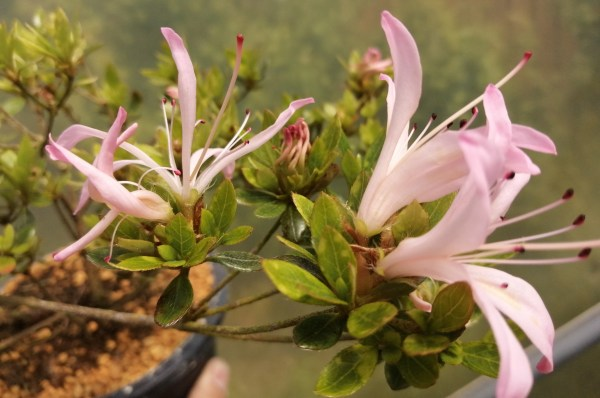 Lovely shrub Satsuki Azalea