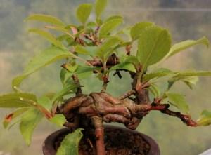 Mini Japanese Crab Apple Bonsai tree