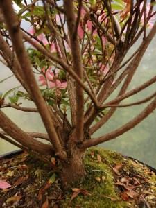 Satsuki azalea large flowering shrub