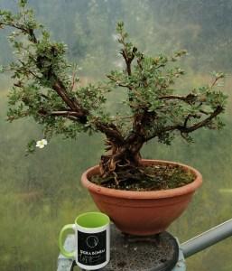 Yamadori Potentilla Bonsai Tree