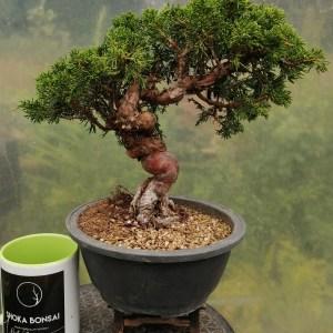 Juniper Itoigawa Bonsai Tree