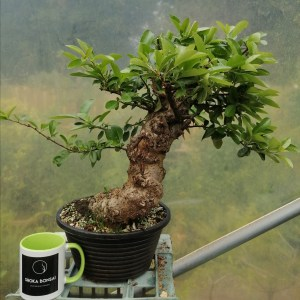 Large Chunky Pyracantha Bonsai Tree material in training