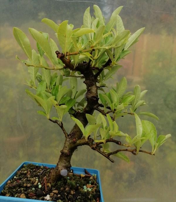Pyracantha Bonsai Tree
