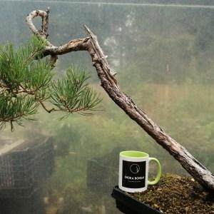 Old Pinus Sylvestris Scots Pine Bunjin Yamadori Bonsai Material