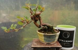 Japanese Crab Apple Shohin Bonsai Tree