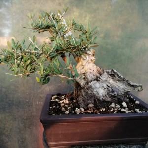 Olea Olive Yamadori Bonsai Tree
