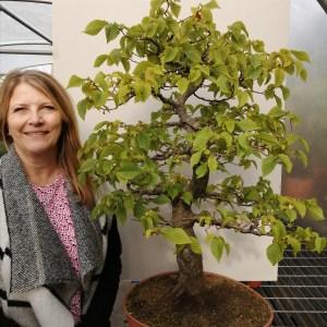 Large Old Carpinus Betulus, European Hornbeam Bonsai Tree