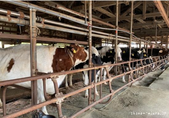 関口牧場の牛