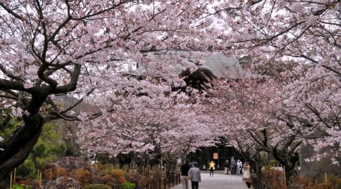 鎌倉桜花チェック2016|建長寺と段葛はほぼ満開!