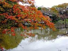鎌倉の紅葉スポット鶴岡八幡宮の源氏池