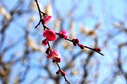 鎌倉瑞泉寺の梅花