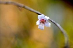 鎌倉瑞泉寺の寒桜