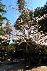 北鎌倉円覚寺山門の桜