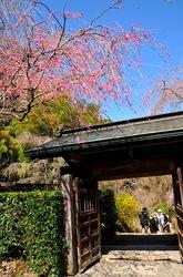 北鎌倉明月院山門の枝垂れ桜