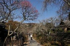 北鎌倉の梅花チェック東慶寺の境内