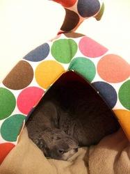 ネコハウスで寝るネコ(ロシアンブルー)