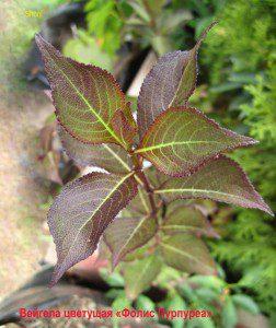 вейгела цветущая фоилис пурпуреа