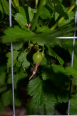 The gooseberries are fruiting