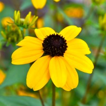 Brown-Eyed Susan -- Summer