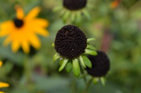 Brown-eyed Susan--Fall