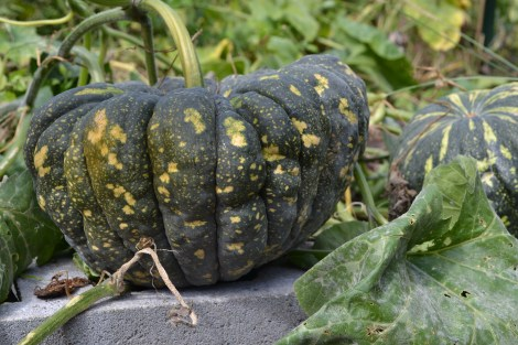A Japanese pumpkin! It was a bumper crop. Ugly but tasty. Perhaps I will post a simple recipe?