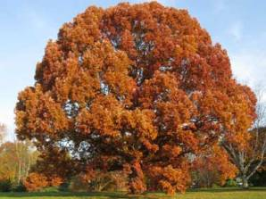 White Oak... Autumnal Glory