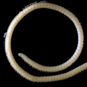 Newly discovered millipede