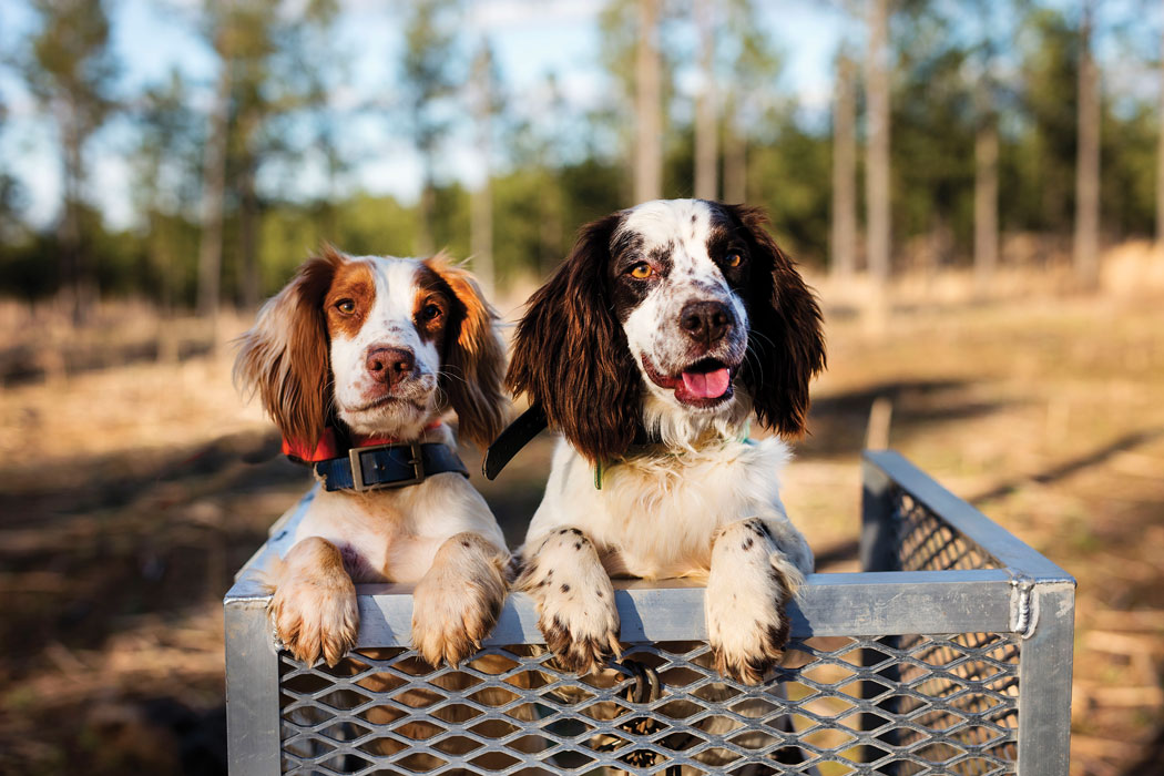 two brown and white pups