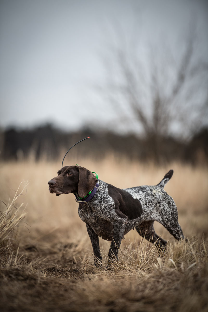 Shorthairs need performance fuel to reach their peak performance.