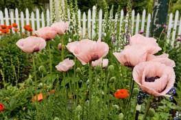 high_res_pink_poppies