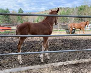 Outrageous SSF, 2019 colt by Gaudi