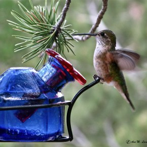 Ava Lanes Hummingbird on feeder.