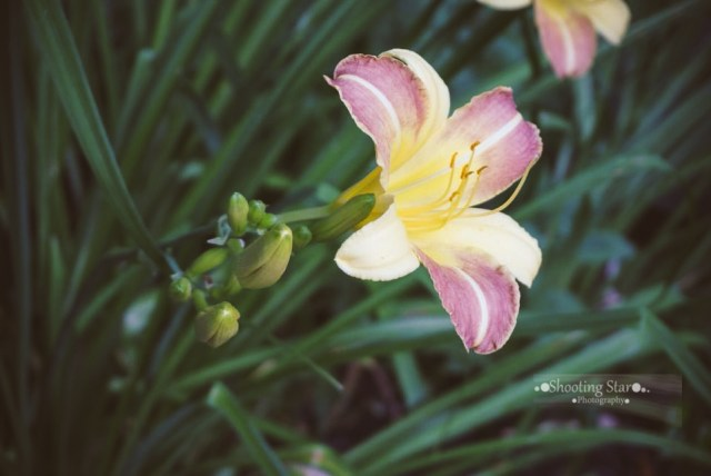 Hundreds of daylilies are planted throughout!