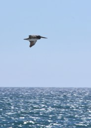 Pelican. Santa Monica, CA.