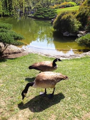 Geese. Huntington Botanical Gardens. Los Angeles, CA.