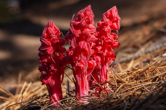 Hunting the Rare Snow Plant 2018