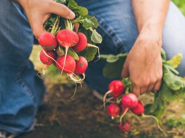 Picking radishes