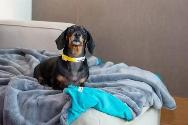 Türkise Hundedecke von Doodlebone® auf der ein Dackel Platz genommen hat in der Größe 1 m x 1,5 m
