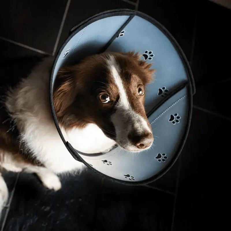 Hund mit Pet Airs Halskrause von Animalsilver nach oben schauend