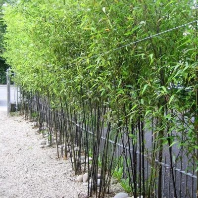 25 graines bambou noir phyllostachys nigra