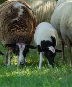 Bio-Schafskäse