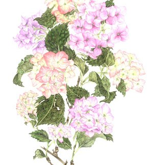 Pink Hydrangeas A3 (Large) embroidery panel, ready to embroider