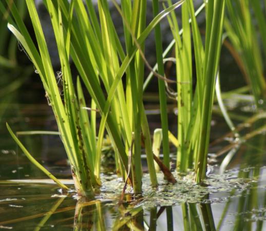 Helofyten - waterplant