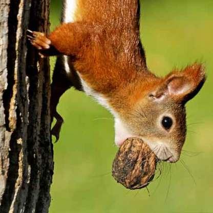 Eichhörnchen Walnuss