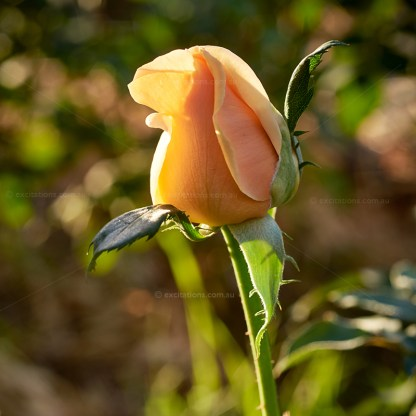 Close-up, bud of Valencia Hybrid T Rose growing in garden. Photo by excitations online shop, bare rooted roses for sale, Victoria.