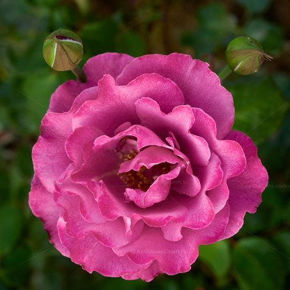 Looking down on fully open Mauve coloured Angel Face rose with two developing flower buds. Excitations online shop