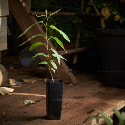 Single Lemon Scented Gum in forestry tub for sale at Excitations Online.