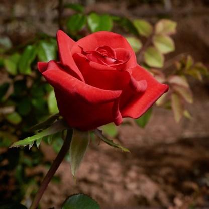 close-up of red rose bud, variety Kardinal.