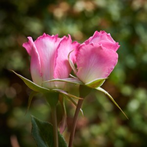 close-up buds of Seduction rose, available bare rooted from Excitations online shop
