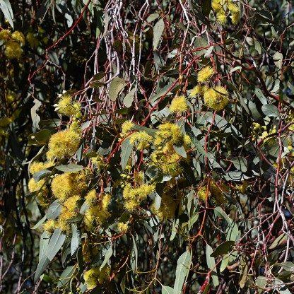 Eucalyptus wooodwardii or Gungurra flowers hanging down in clusters.